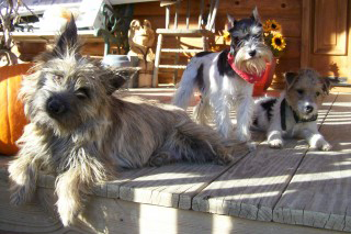 Terrier Dogs